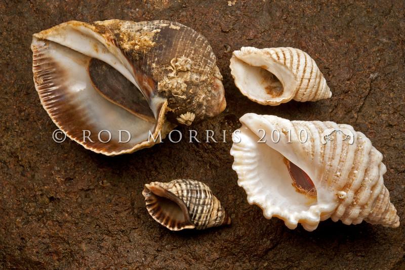 DSC_8657 A comparison of the rock shells. Dark rock snail (Haustrum haustorium) top left, Oyster borer (H. scobina) lower left, White whelk (H. lacunosum) top right, and White rock snail (Dicanthais orbita) lower right.