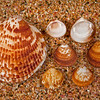 DSC_4698 Small dog cockle (Glycymeris modesta) selection of empty shells washed ashore on beach, with Large dog cockle (Tucetona laticostata), beside them for comparison. Subtidal, at the surface of sand or shell substrate off open coasts. Mount Maunganui