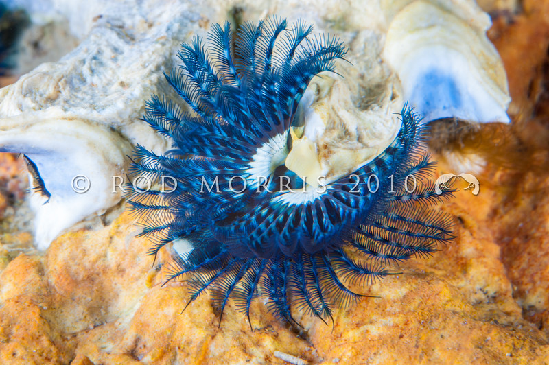 DSC_23351 Blue tubeworm (Spirobranchus cariniferus) found from mid to low tide on rocky shores, usually between the barnacle and mussel bands. Otago Peninsula *