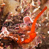DSC_9261 Scarlet acorn worm (Saccoglossus otagoensis) in coralline algae. Aquarium Point, Otago Harbour *
