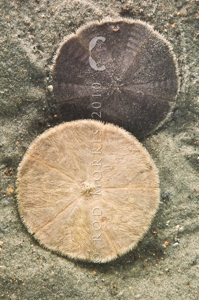 DSC_3925 Sand dollar, or kiritara (Fellaster zelandiae) found partially buried in sand in estuaries and on sandy beaches exposed to coastal currents and waves. Caroline Bay, Timaru *