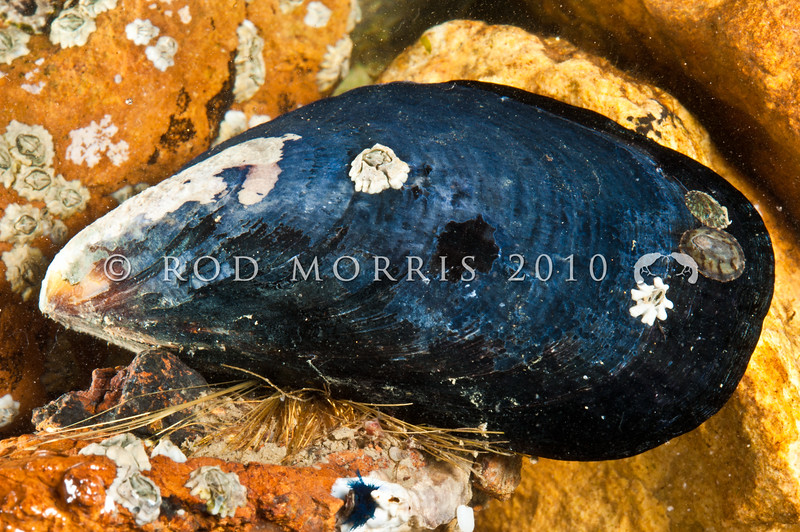 DSC_5581 Blue mussel, or toretore (Mytilus galloprovincialis) attached to rock by byssus threads. Very common in parts of South Island, less common in the North. Otago Harbour *