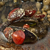DSC_2950 Red brachiopod or Papa kura iti (Calloria inconspicua) attached to ribbed mussel shell at low tide. Otago Harbour