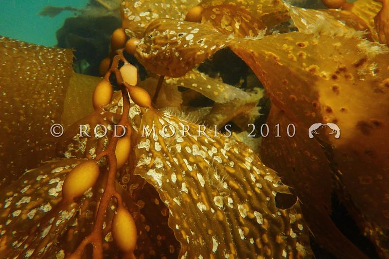 PC_180011 Seaweed encrusting bryozoan (Antarctothoa bathamae) on Macrocystis fronds underwater. Aquarium Point, Otago Harbour