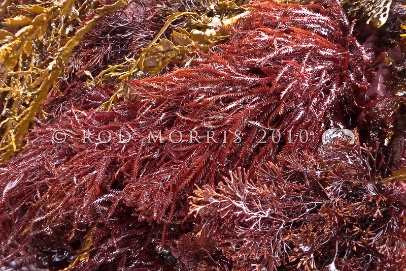 P_4090142 Red seaweed (Vidalia colensoi) fronds with their distinctive zigzag margins, exposed at low tide. Often growing in bushy or tangled clumps, in shallow pools to depths greater than 20m, on rock on open coasts. Goat Island Marine Reserve, Leigh *
