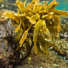 P_4110187 Paddle weed, or rimurimu (Ecklonia radiata) underwater at low tide. A conspicuous brown kelp in northern NZ, forming beds along rocky coastlines. Low intertidal to subtidal zones. Goat Island Marine Reserve, Leigh *