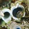 DSC_9503 Blue tubeworm (Spirobranchus cariniferus) detail of partially open operculum plug. Found from mid to low tide on rocky shores, usually between the barnacle and mussel bands. Aquarium Point, Otago Harbour