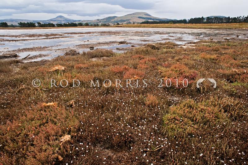DSC_1379 Sea primrose, or maakoako (Samolus repens) flowering on salt marsh, amongst clumps of glasswort (Sarcocornia), and Sea blite (Suaeda). Waikouaiti Rivermouth *