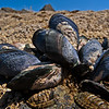 DSC_1632 Blue mussel, or toretore (Mytilus galloprovincialis) group attached to rock by byssus threads. Very common in parts of South Island, less common in the North. Caroline Bay, Timaru.