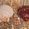 DSC_7807 Common scallop, or tipa (Pecten novaezelandiae) large, often colourful shells well known to NZers. Distinct in having strongly convex bottom valves - as shown here on the beach, and flat upper valves. Pakiri Beach