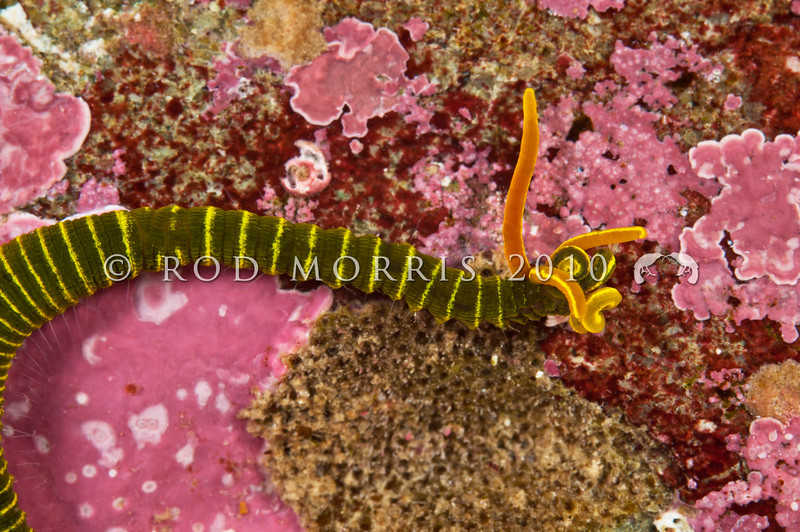 DSC_7333 Northern Acrocirrus (Acrocirrus sp.) Goat Island Marine Reserve, Leigh *