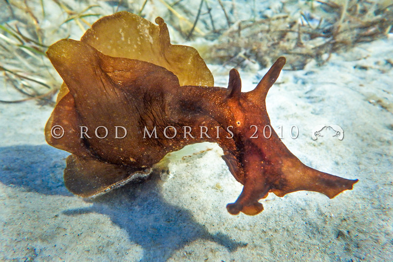 P_3140194  Walking sea hare (Aplysia juliana) one of the few sea hares to lack an ink gland, which produces a characteristic reddish purple ink in most other species. It also has an unusual 'looping' walk (shown here), and can 'loop' along like a leech. Cosmopolitan in all tropical and temperate seas. Te Pua Point, Parengarenga Harbour *