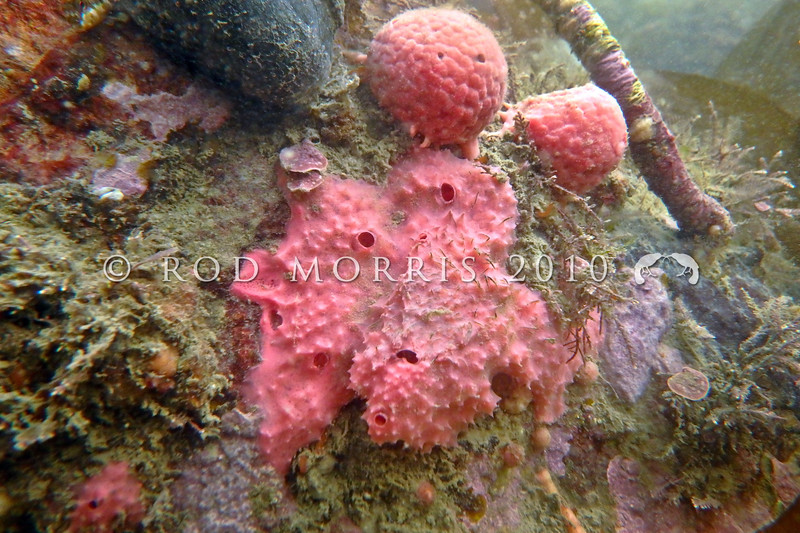 P_1010097  Pink golf ball sponge (Tethya burgquistae), and the Encrusting sponge (Darwinella gardineri) - a bright pinkish red encrusting sponge forming thin mats up to 1 metre square. Occurs from the shallow subtidal down to 10–30 m depth around New Zealand. Aquarium Point, Otago Harbour *