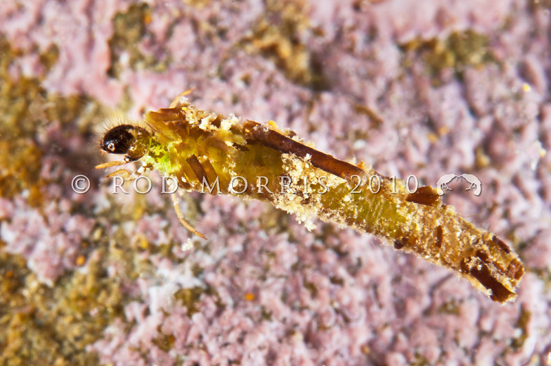 DSC_8976 Marine caddis (Philanisus plebius) are one of the very few insects which spend part of their life cycle in a marine habitat. Larvae construct their cases of coraline algae. The four described species are distributed along the coasts of New Zealand, New South Wales, and the Chatham Islands *