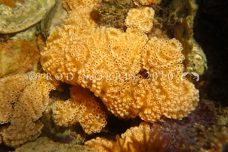P_ 1010002 Colonial ascidian (Botrylloides leachii) underwater. Orange-cream coloured, but can also range from typically purple, through green, to cream. Forms flat slimy sheets that encrust a variety of surfaces. Aquarium Point, Otago Peninsula *