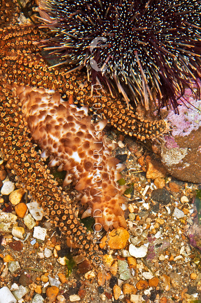 DSC_0621 A selection of echinoderms. Portobello Marine Laboratory *