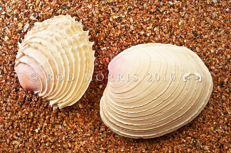 DSC_8526 Frilled venus clam (Bassina yatei) perfect shell left, and a typically warn and damaged beach drift shell right. In the living animal, the valves have thin concentric lamellae that develop into frills around the ends of the shell. These however may be worn down in the surf as empty shells wash ashore. This clam lives just below low tide, shallowly buried in fine sand, on open to moderate shores. Raglan *