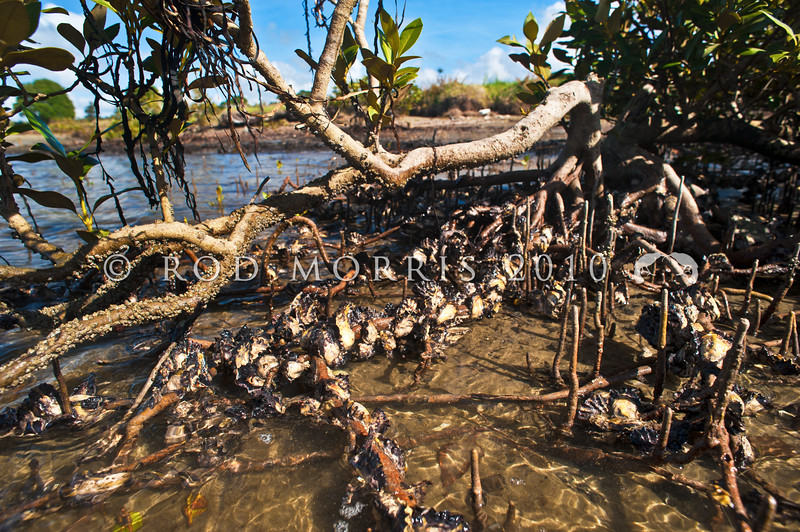 DSC_6983 Pacific oysters (Crassostrea gigas) growing on mangrove roots. Shells are large, heavy and sharp edged, becoming elongated as they grow. Valves can have variable amounts of purple splashed across them. Will establish on soft substrates such as mud, and has aggressively colonised intertidal, and subtidal mudflats since it first appeared in NZ around 1971. Whangateau Harbour *