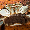 DSC_2483 Common rock crab, or rerere (Hemigrapsus sexdentatus)  female carrying eggs. Found throughout the intertidal zone in small groups under cobble. Quarantine Point, Otago Harbour *