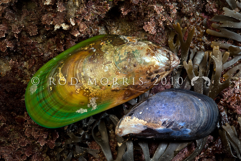 DSC_  0165  A comparison between the larger Green-lipped mussel, or porohe (Perna canaliculus) top, and the Blue mussel, or toretore (Mytilus galloprovincialis) bottom right. Brighton Beach *