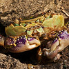 DSC_0024 Purple shore crab (Leptograpsus variegatus) more abundant in the north of New Zealand. This crab will leave the intertidal zone, to enter coastal forest and seek terrestrial prey such as young seabirds and snails. Here a garden snail is being consumed well after dark, and 20m above the shoreline on coastal cliffs at Goat Island Marine Reserve, Leigh