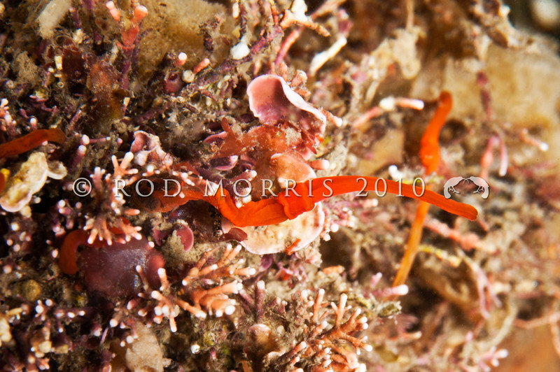 DSC_9258 Scarlet acorn worm (Saccoglossus otagoensis) in coralline algae. Aquarium Point, Otago Harbour