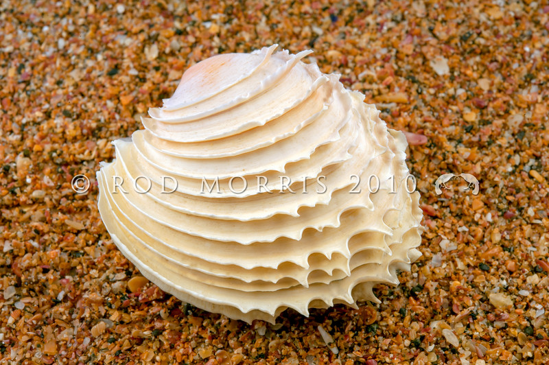 DSC_8515 Frilled venus clam (Bassina yatei) perfect shell. The valves have thin concentric lamellae that develop into frills around the ends of the shell. These however may be worn down in the surf as empty shells wash ashore. This clam lives just below low tide, shallowly buried in fine sand, on open to moderate shores. Raglan *