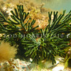 PB_10057 Branching velvet seaweed (Codium fragile novaezelandiae) underwater in tidal pool. Brighton Beach *