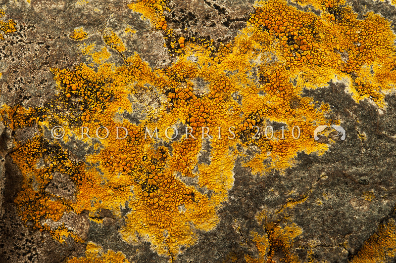 DSC_8068 Orange crustose coastal lichen (Caloplaca circumlutosa) encrusts rocks and boulders from just above high tide level, and is common on many rocky coasts. Warrington