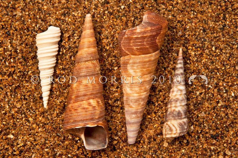 DSC_8840 A selection of large and small turret snails, or korire, showing (Stiracolpus symmetricus) from Akaroa left, (Maoricolpus roseus) from Otago Harbour centre, and (Stiracolpus pagoda) from Northland right *