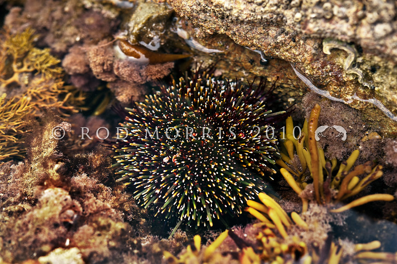 DSC_3150  Sea urchin, or kina (Evechinus chloroticus) found in the low intertidal in northern New Zealand. Common in the sub-tidal zone throughout New Zealand. All Day Bay, Kakanui *