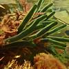 PB_10064 Branching velvet seaweed (Codium fragile novaezelandiae) underwater in tidal pool. Brighton Beach