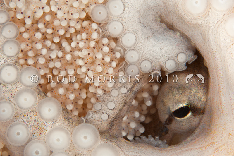 DSC_0069 Hutton's Octopus (Octopus huttoni) the eye of a female octopus guarding her developing embryos. Unlike many molluscs, octopus provide maternal care to their developing embryos. Here the tiny eyes and pigment cells can be clearly seen inside each egg. Aquarium Point, Otago Harbour *