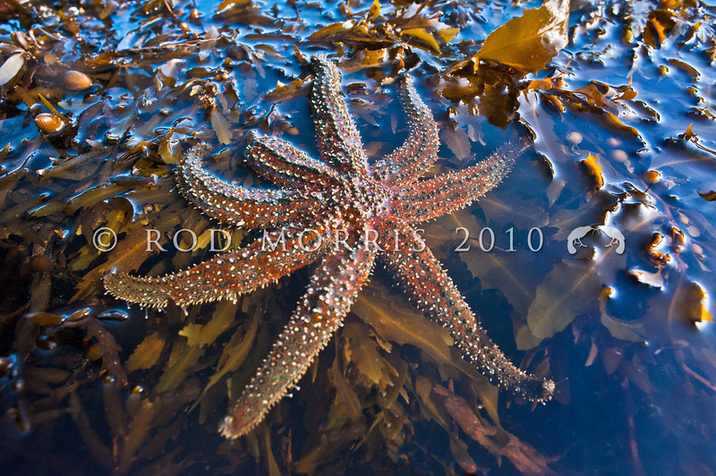 DSC_ 3364 Spiny sea star (Coscinasterias muricata) these starfish reproduce asexually by 'fission' where the central disc breaks into two pieces and each portion then regenerates the missing parts. Tokerau Beach, Karikari Peninsula *