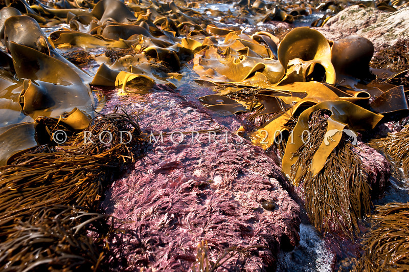 DSC_7470 Coralline algae (Arthrocardia sp.) jointed, flattened, fan-like plants, rosy pink in colour, sometimes with a glossy sheen. Low intertidal to subtidal 20m. Catseye Point, Kakanui *