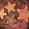 DSC_5766  Jewel sea star (Pentagonaster pulchellus) showing variation in colour. Blueskin Bay, Otago *