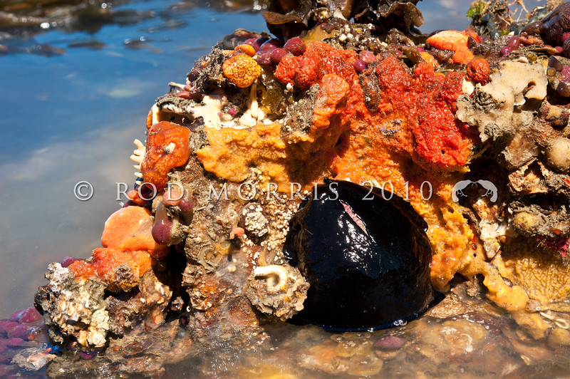 DSC_ 7612 Duck's bill limpet, or rori (Scutus breviculus) resting amongst a 'riot' of colourful pink, red, orange and yellow ascidians (Botrylloides leachii, Hypsistozoa fasmeriana) and sponges encrusting the underside of an overturned rock at low tide in the harbour. Aquarium Point, Otago Harbour *