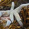 P_4220362 Seven armed sea star (Astrostole scabra) at low tide in rock pool amongst Strap weed (Xiphophora gladiata). Brighton *