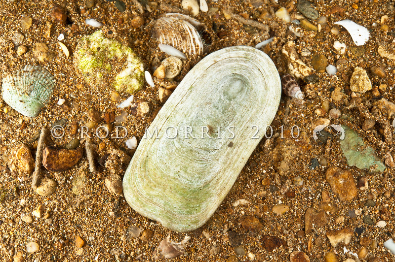 DSC_1770 Shield shell, or rori (Scutus breviculus) empty shell of the Duck's bill limpet. Otago Harbour *