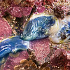 DSC_3177 Blue sea squirt, or kaeo piringa (Asterocarpa coerulea) group exposed on rocks at low tide. Underwater they become inflated with two prominent siphons. Common on, or under low tidal rocks and wharf piles. Maitai Bay, Karikari Peninsula *