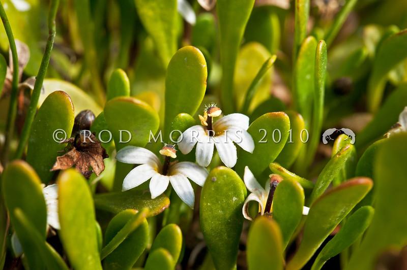 DSC_1308 Half star, or remuremu (Selliera radicans) in flower, and forming a dense turf of 'salt meadow' on the salt marsh. Purakanui Inlet, Otago *