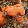 P_1010091 Orange encrusting sponge (Crella incrustans) on rock ledge in the intertidal zone. Extremely common, found all around New Zealand in a range of sheltered and exposed habitats. Also on shallow coastal rocky reefs, and deeper continental shelf seamounts and banks. Aquarium Point, Otago Harbour *