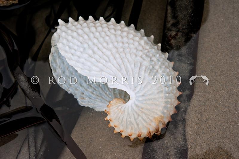 DSC_4976 Paper nautilus, or muheke (Argonauta nodosa) the large, pearly white shells of this pelagic species often wash ashore along the east coast of New Zealand - north of the subtropical convergence - each summer.  Wellington