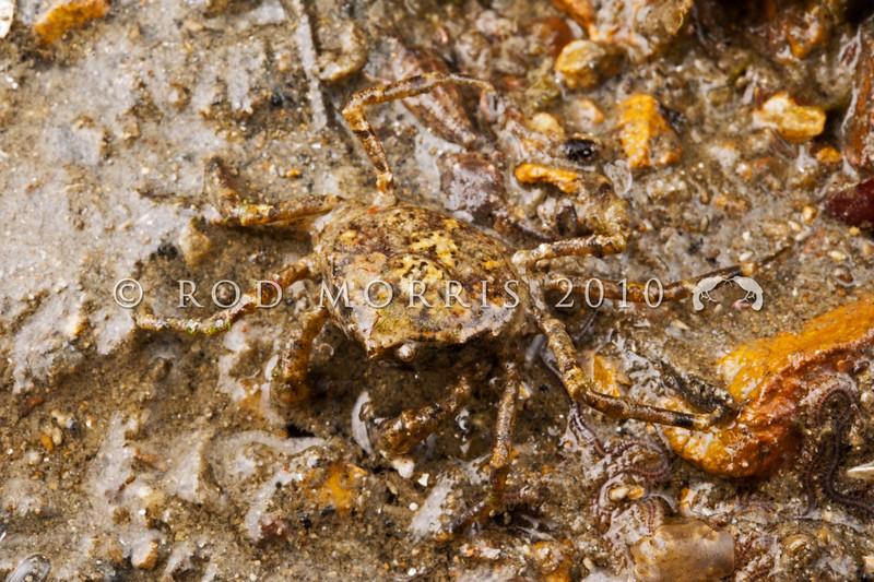 DSC_7909 Pill box crab (Halicarcinus innominatus) often found in green-shell mussel beds. Otago Harbour