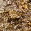 DSC_7909 Pill box crab (Halicarcinus innominatus) often found in green-shell mussel beds. Otago Harbour