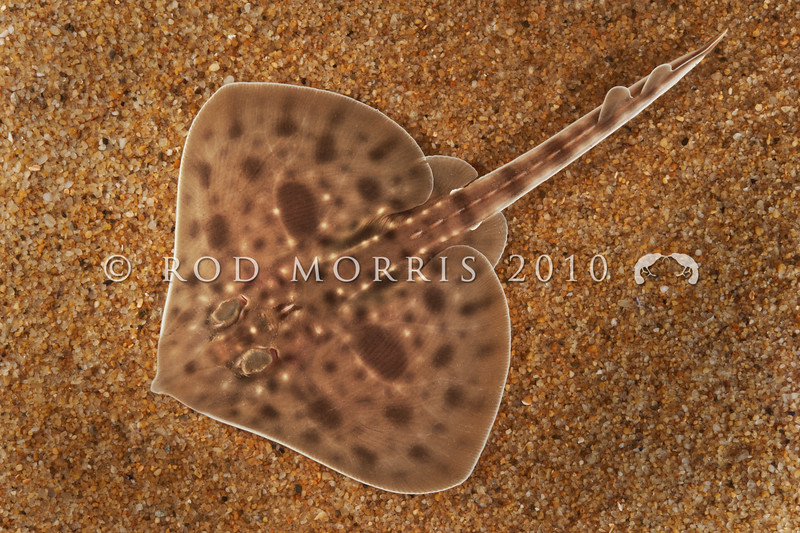 DSC_18653  Rough skate (Zearaja nasuta) young skate recently emerged from egg case. Occurs on sand and mud in inshore waters, and on the continental shelf down to at least 600m. Otago Harbour *