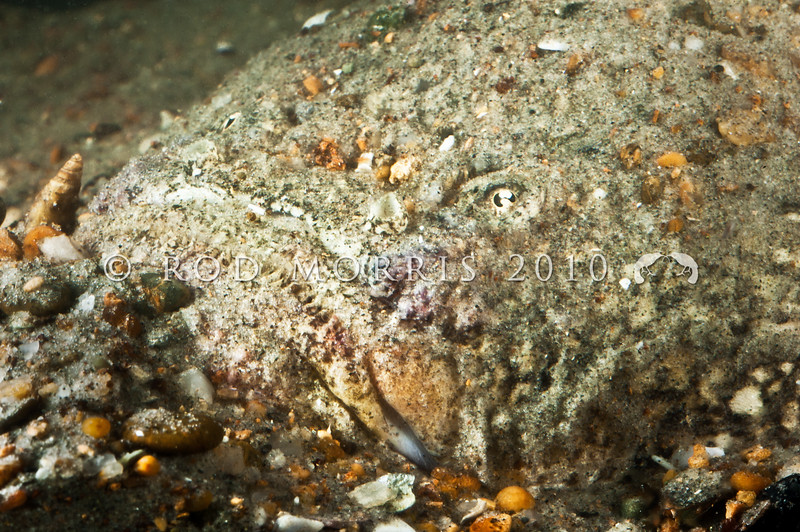 DSC_6298 Spotted stargazer, or monkfish (Genyagnus monopterygius) head of a large adult, camouflaged in sand. Stargazers are 'wait and pounce' predators, and may live anywhere from the low intertidal zone to depths of 500m off the continental shelf. Blueskin Bay *