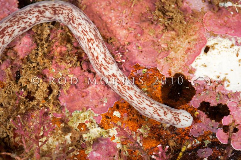 DSC_1189 Nemertean worm (Phylum: Nemertea) possibly Baseodiscus cf.delineatus, a circumglobal species that has not yet been recorded from New Zealand. Weller's Rock, Otago Harbour