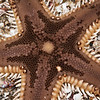 DSC_7267 Comb star, or pekapeka (Astropecten polyacanthus) sometimes found on sand at low intertidal. A five -pointed star, with very spiny edges, and a dense pile-like texture on top. Occurs around the North Island east coast, and in southern Australia. Whangateau Harbour