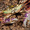 DSC_9965 Purple shore crab, or papaka nui (Leptograpsus variegatus) detail of large male foraging on rocky shore at night. Goat Island Marine Reserve, Leigh